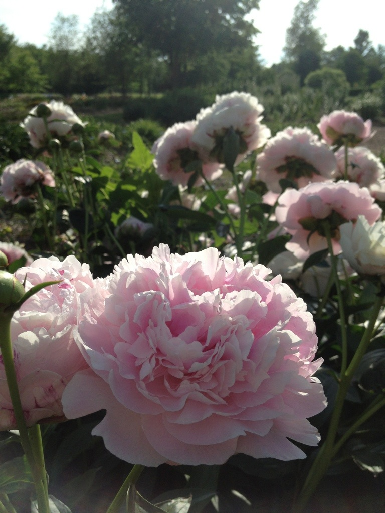 Pretty Peonies 3 – June 6th