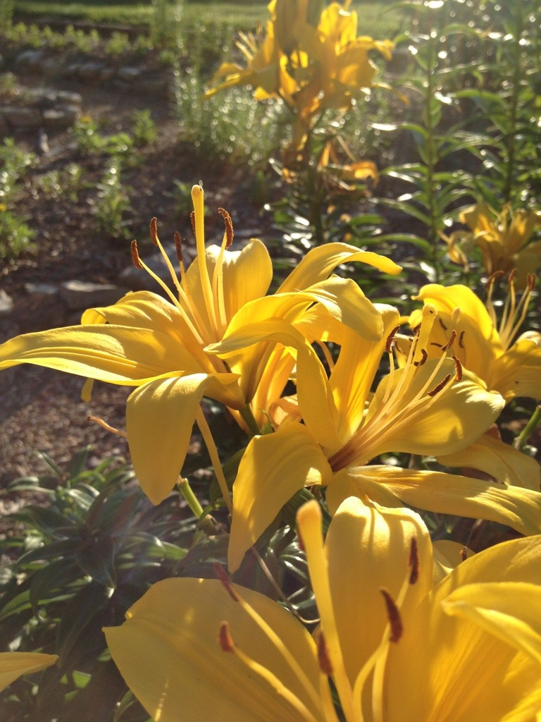 Friday with Lillies Too – June14th
