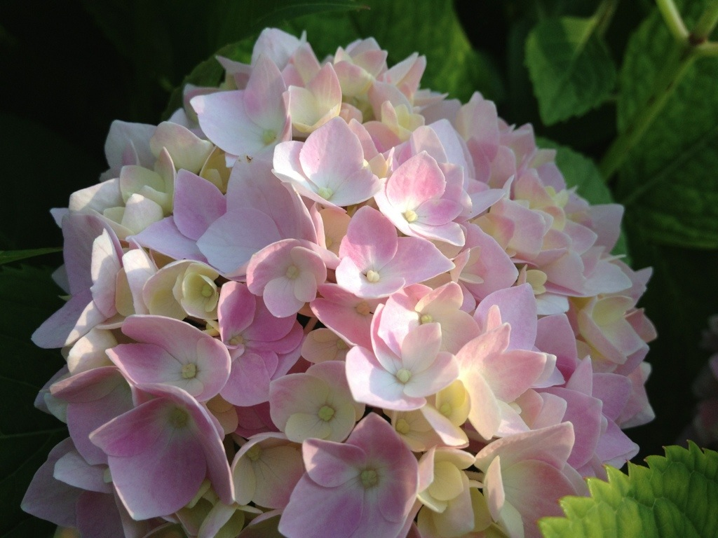 Pink Hydrangea – June 15th