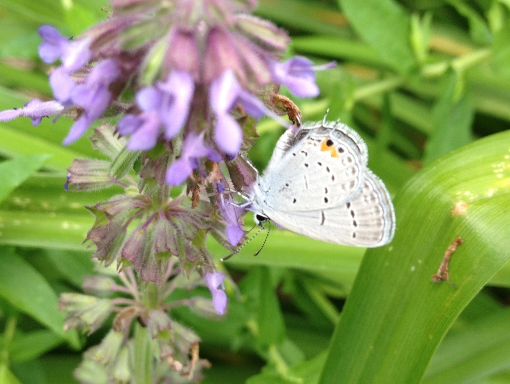 Eastern Tailed-Blue – June18th