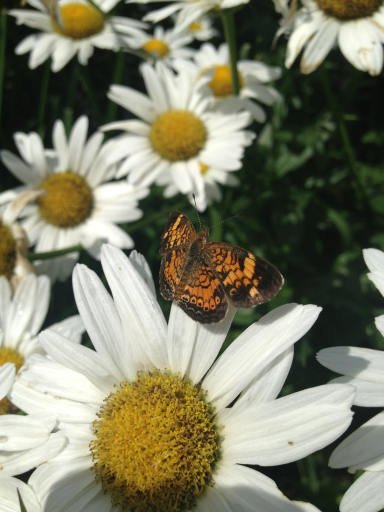 Butterfly on a Daisy- August 1st