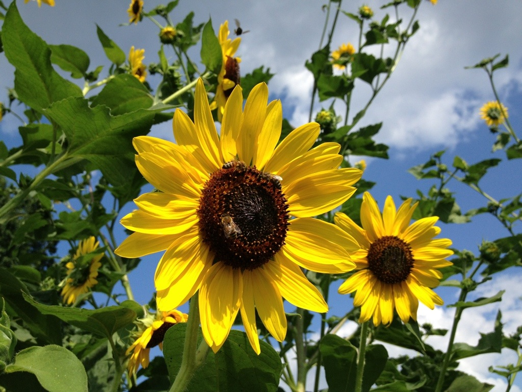 Sunflowers Against A Bright Blue Sky – August 20th