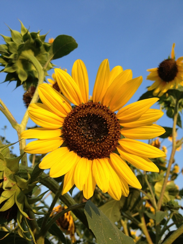 Sunflowers – August 26th