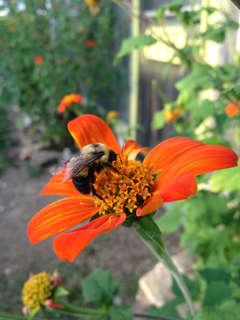 Bee on a Orange Flower – August 27th
