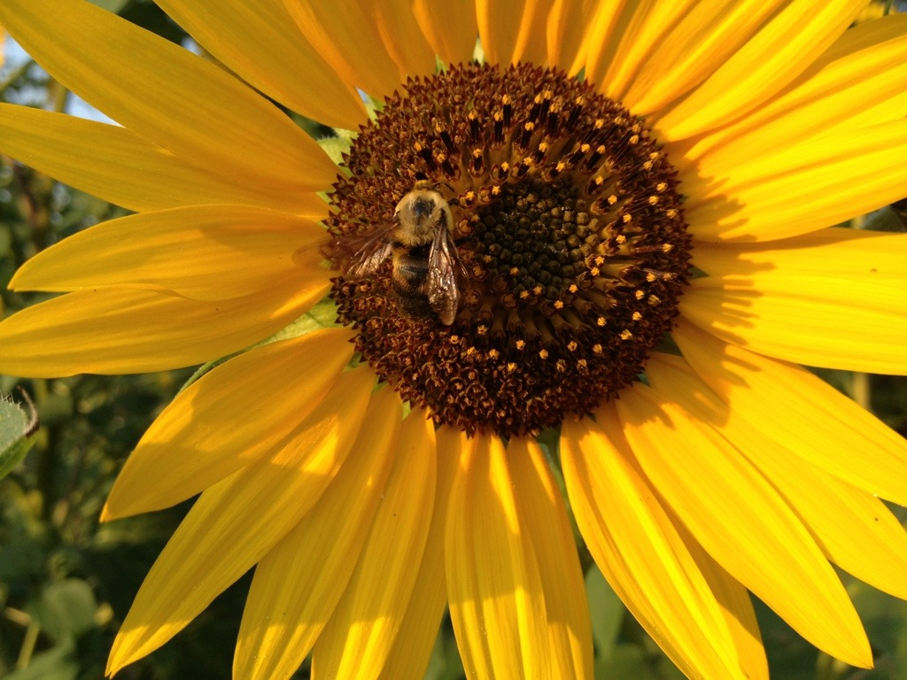 Sunflowers and Bees – September 4th