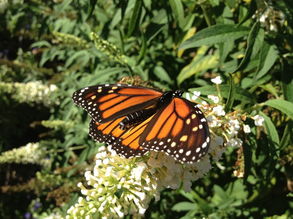 Lovely Monarch – October 7th